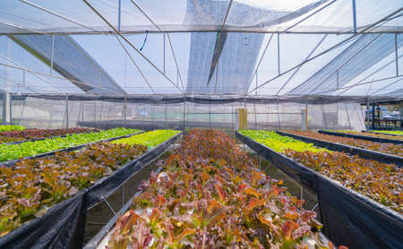 Row of fresh vegetable salad garden plant industry farm in argricuture concept. Hydroponic natural food. Crops Banco de Imagens - 160981948