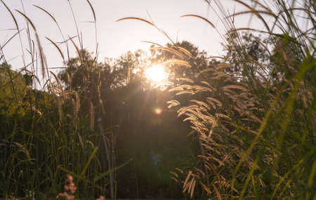 Long tall wild grass in a field. Rye nature green plant in forest or park with sunlight flare background in spring season in ecology, holiday vacation and travel concept. Fresh relaxation Banco de Imagens - 160981949