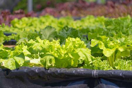 Row of fresh vegetable salad garden plant industry farm in argricuture concept. Hydroponic natural food. Crops Banco de Imagens - 160981952
