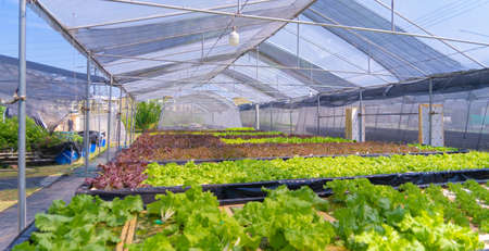 Row of fresh vegetable salad garden plant industry farm in argricuture concept. Hydroponic natural food. Crops Banco de Imagens - 160981953