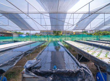 Row of fresh vegetable salad garden plant industry farm in argricuture concept. Hydroponic natural food. Crops Banco de Imagens - 160981954