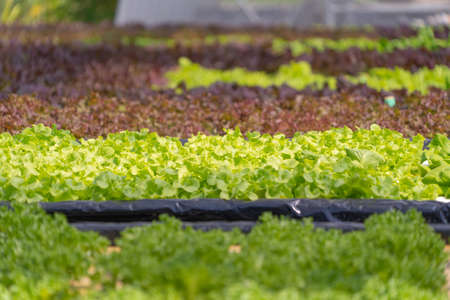 Row of fresh vegetable salad garden plant industry farm in argricuture concept. Hydroponic natural food. Crops Banco de Imagens - 160981832