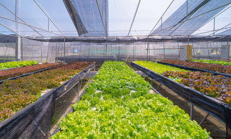 Row of fresh vegetable salad garden plant industry farm in argricuture concept. Hydroponic natural food. Crops