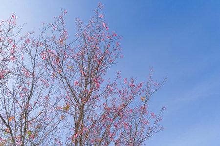 Sakura cherry flowers blossom trees of Phu Lom Lo national park, Phu Hin Rong Kla National Park, Thailand. Natural landscape background. Pink color in spring season. Stock fotó