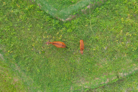 Aerial top view of cows eating green rice and grass field. Animals in agriculture farm. Banco de Imagens