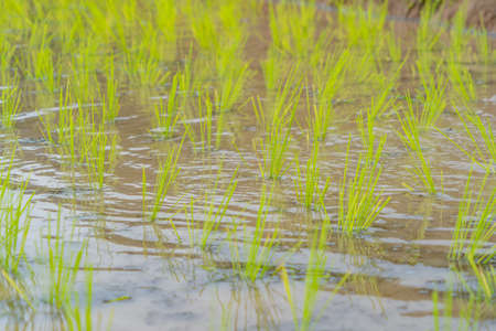 Close up of fresh paddy rice terraces with water reflection, green agricultural field in countryside or rural area in Asia. Nature landscape background. Irrigation