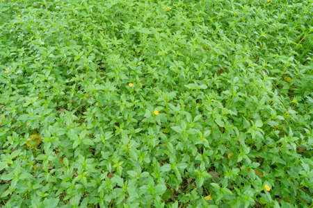 Green vegetable plant leaves of trees in garden pattern surface texture. Close-up of exterior natural material for decoration background