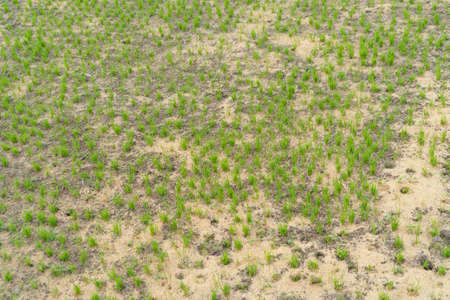 Close up of dry grass, green agricultural field in countryside or rural area in Asia. Nature landscape. Pattern texture background. Banco de Imagens