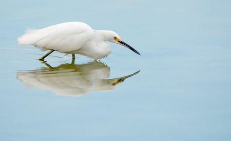 gilbert: A Snowy Egret is poised for action while it waits for a fish or dragonfly to pass by.  Gilbert, Arizona.