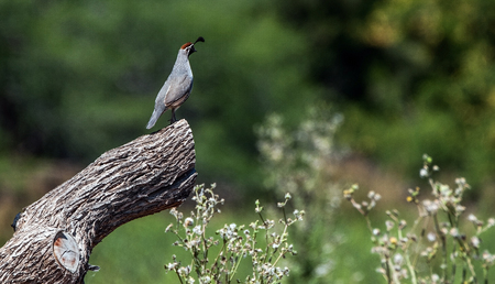 gilbert: A Quail surveys its territory in Gilbert, Arizona. Stock Photo