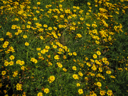 glod: Yellow daisies in the garden.