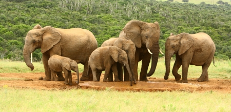 waterhole: Family of African elephants, South Africa