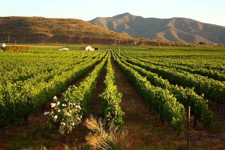 Vineyard, Montague, Route 62, South Africa photo
