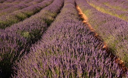 Lavender field, Franschhoek, South Africa photo