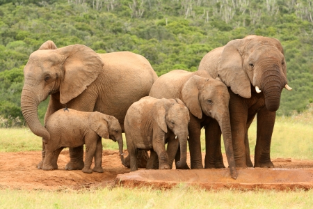 herd: Family of African elephants at a waterhole, South Africa