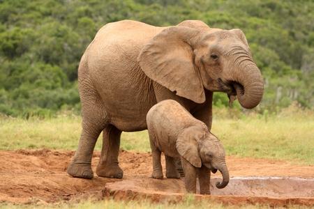 pozo de agua: Madre y cr�a de elefante africano en un pozo de agua, Sud�frica Foto de archivo