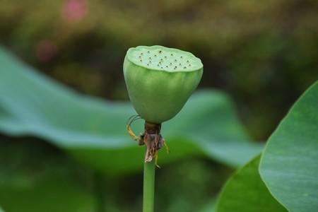 helical: Lotus Flower Stock Photo