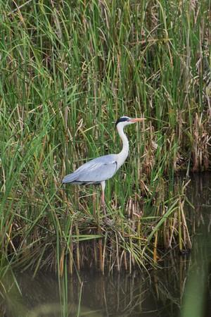 pierce: Grey heron Stock Photo