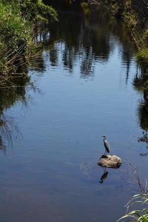 pierce: Heron in River