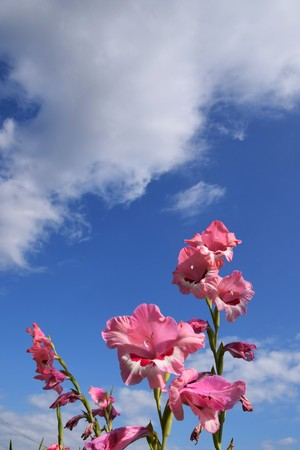 Summer is here! And Hollyhock with blue sky 版權商用圖片