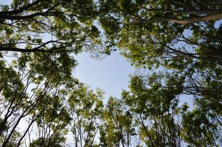 ケヤキ並木