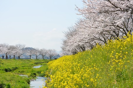 Rows of cherry trees and rape blossoms
