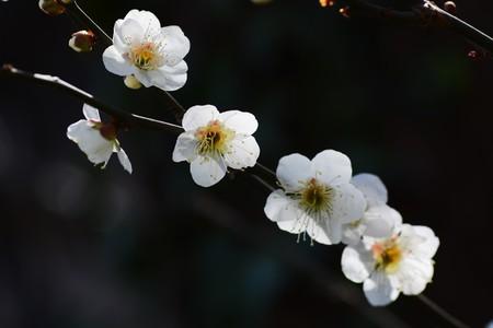 most popular: Plum blossom