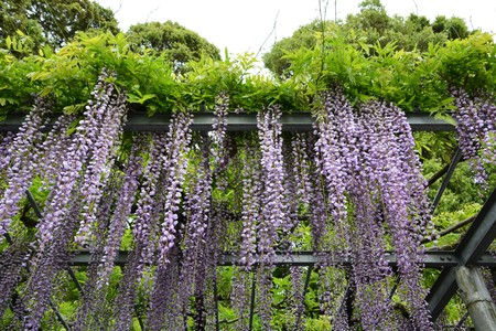 Wisteria of the temple