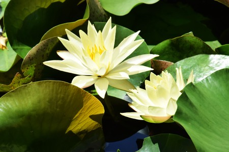 Water lily pond Stock Photo