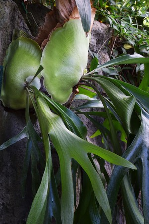 epiphytic: Staghorn fern Stock Photo