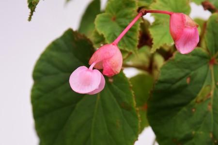 Begonia grandis Imagens
