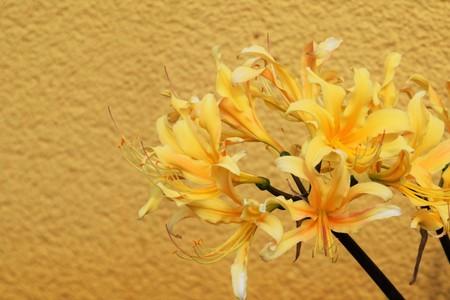 ヒガンバナ属 radata