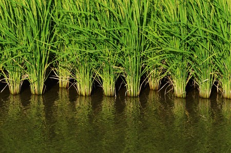 domestic policy: Paddy field Stock Photo