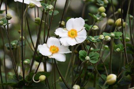 日本: Anemone hupehensis 写真素材