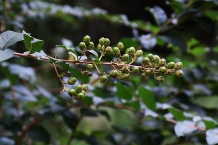 日本: サルスベリの果実