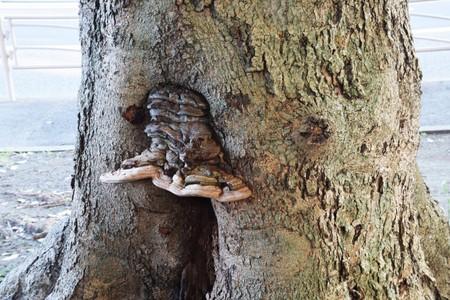 ブラケット真菌
