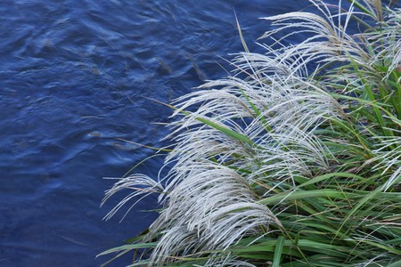 vacant land: Japanese pampas grass