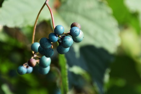 jade plant: Wild grape