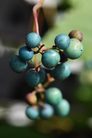 日本: Wild grape