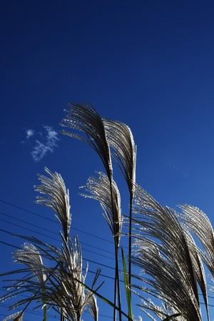 日本: Japanese pampas grass