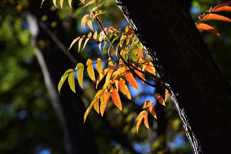 Autumn leaves of Wax tree