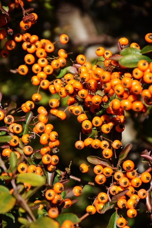 Fruits of pyracantha