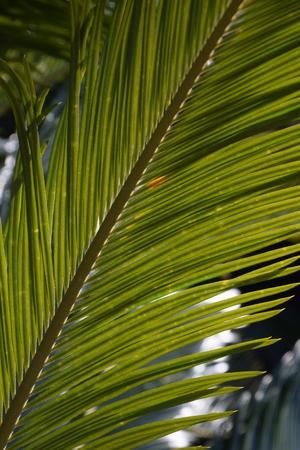 Cycas revoluta background. Stock Photo