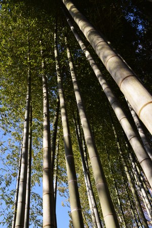 Bamboo leaves are swaying in the wind
