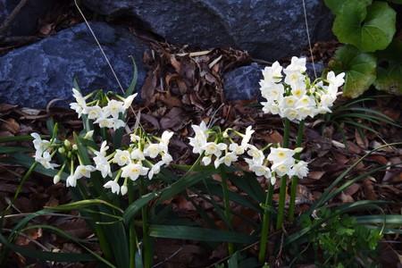 Narcissus Imagens