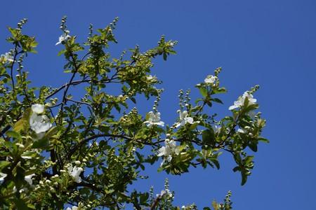 Exochorda racemosa Фото со стока
