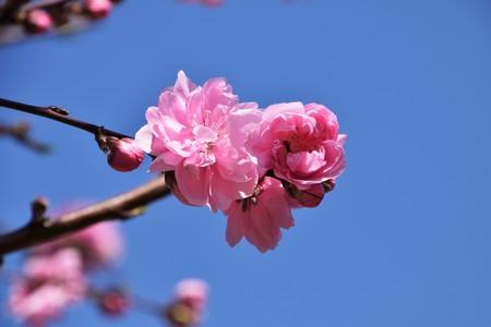 Hana Peach (Flowering Peach)