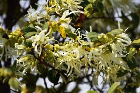 Flowers of Evergreen witch hazel