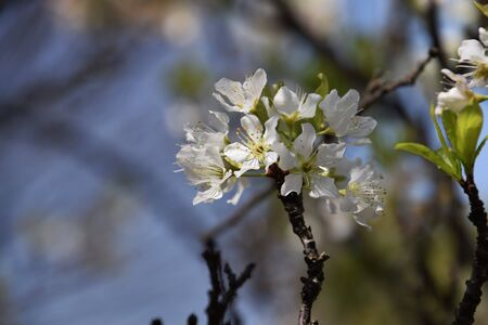 Japanese plum blossoms Stock Photo
