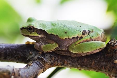 Japanese tree frog Stock Photo